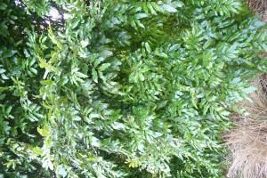 Titoki bush