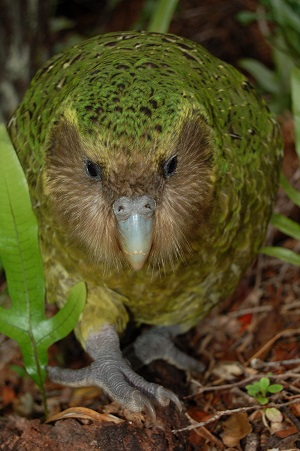 Sirocco, official spokesbird for the Department of Conservation and the Ambassador for Kakapo Recovery.