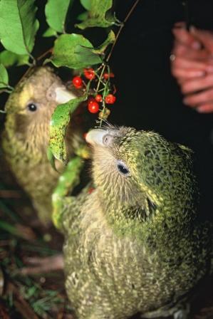 Kakapo chicks feeding.