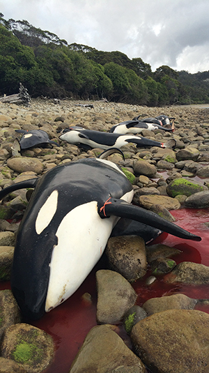 Above: beached orca