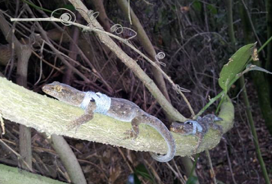Temporary transmitting devices allow the team to monitor gecko movement.