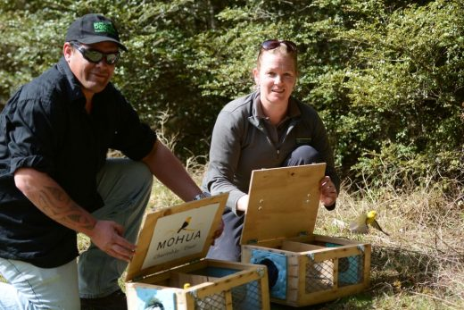 John and Lindsay working together to help boost the mōhua population. Photo supplied by the Department of Conservation.