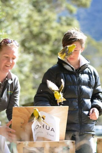 DOC staff member, Hannah Edmonds and Jarden releasing some of the mōhua. Photo supplied by the Department of Conservation.